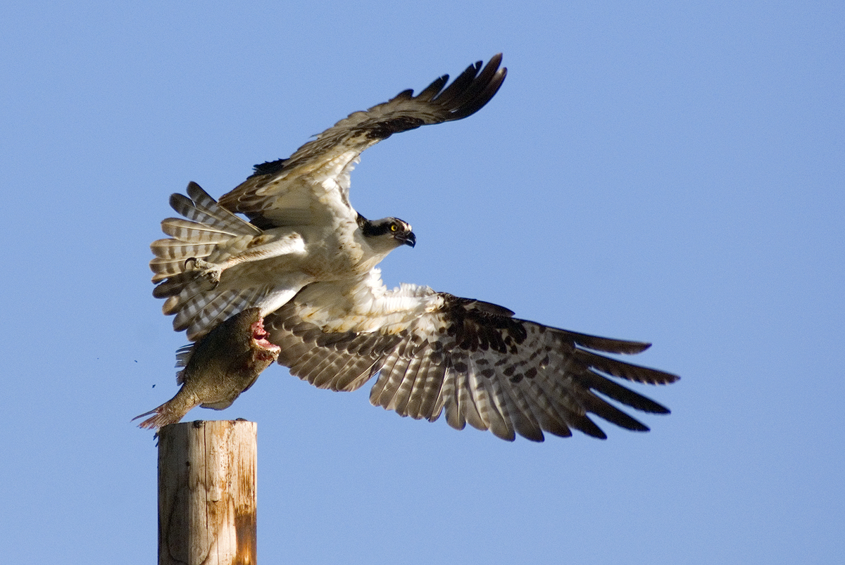 Osprey Bird Light Wind