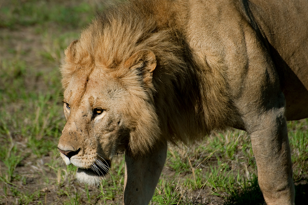 male lion weight - HD1200×798