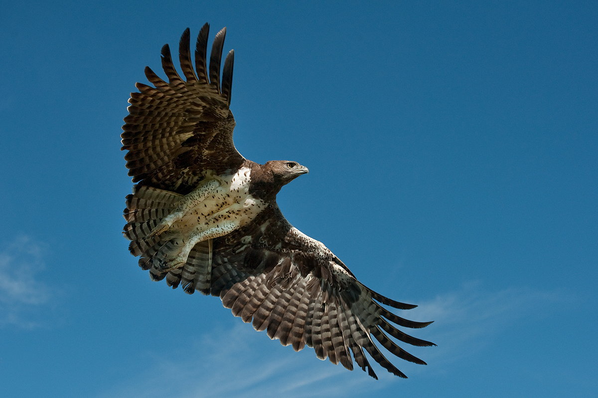 Martial Eagle | Bird Light Wind