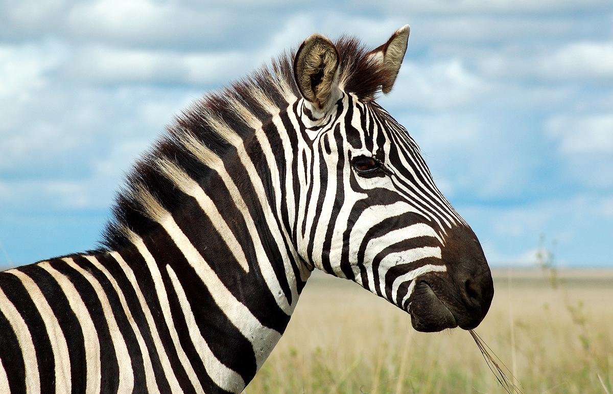 Zebra face profile - photo#13