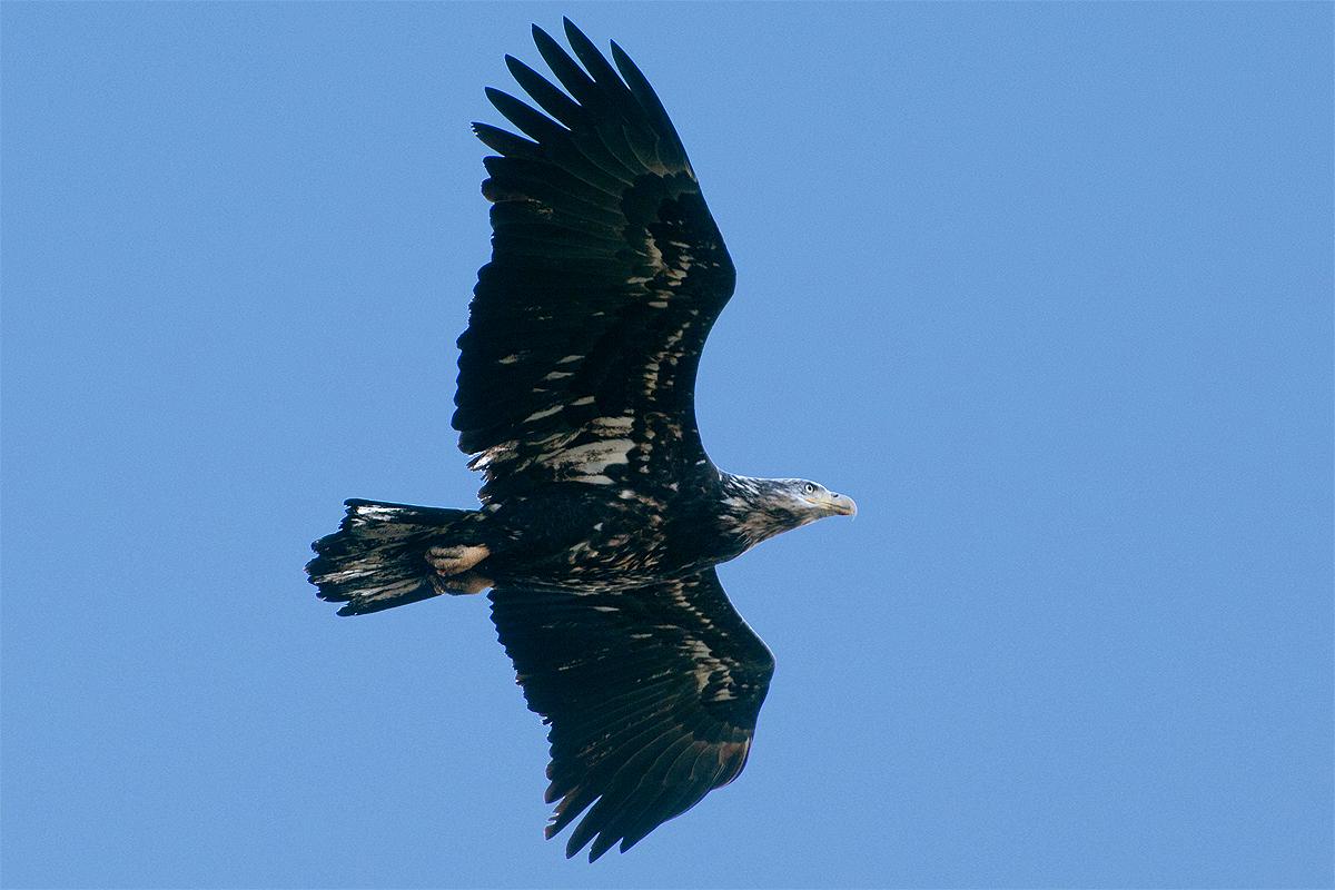 Bald eagle sky jpg