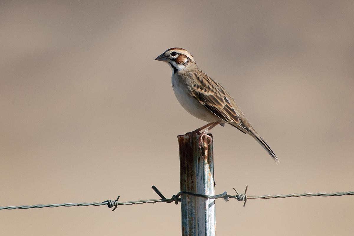 Lark Sparrow Bird Light Wind