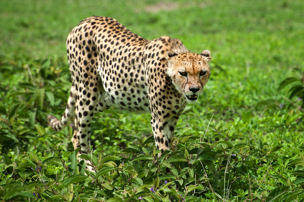 Cheetah Bird Light Wind
