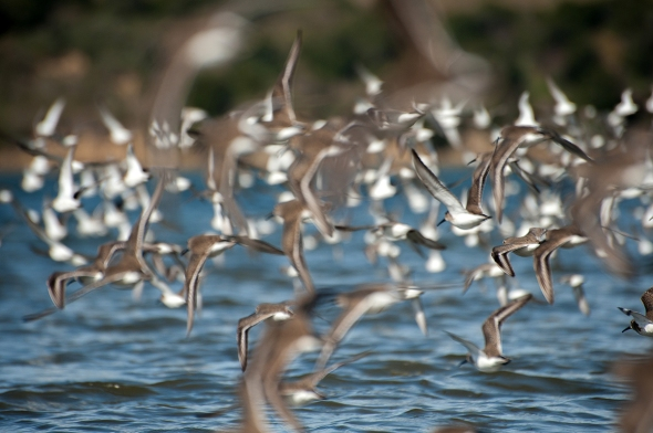 shorebird flurry
