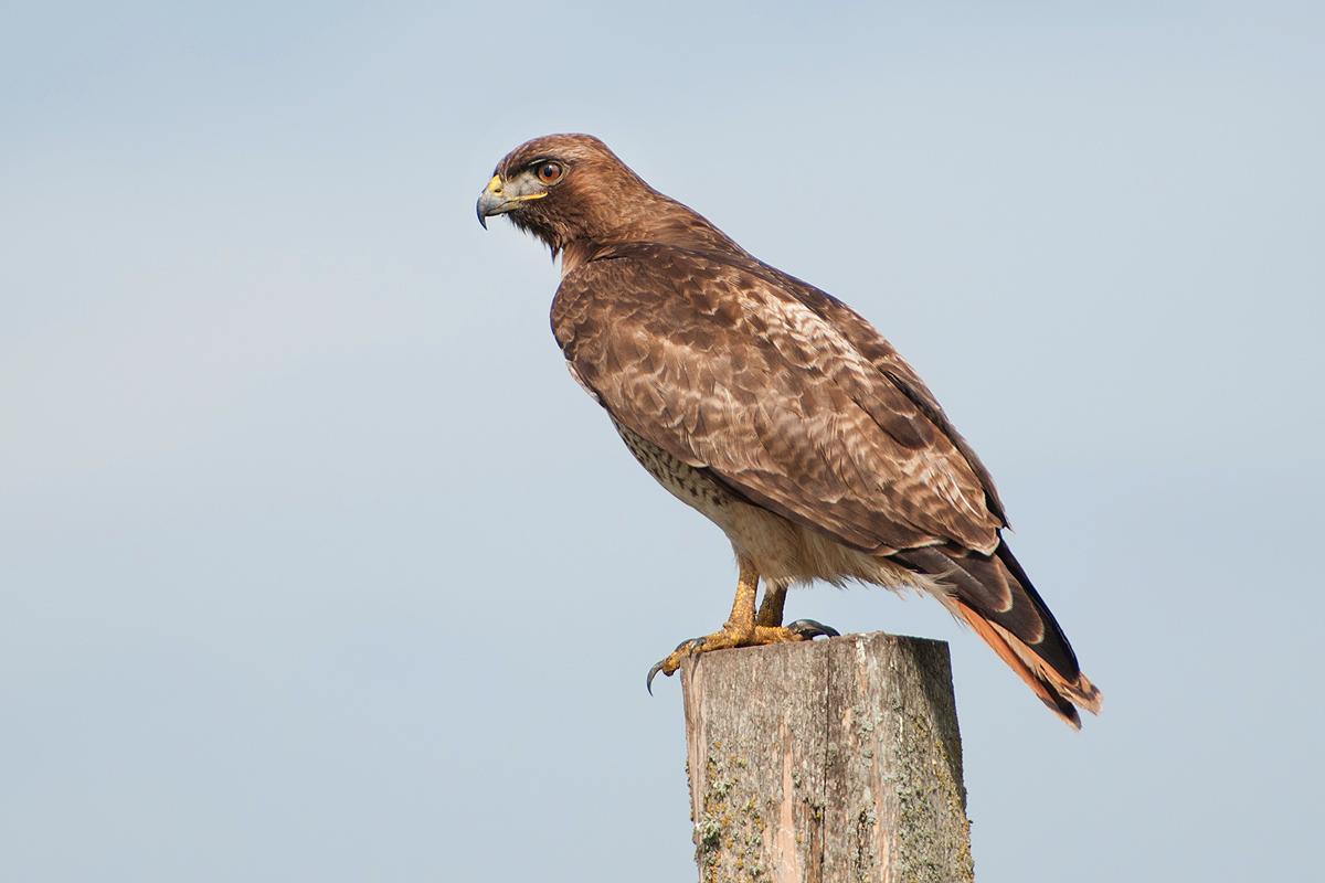 Red-tailed Hawk   Bird Light Wind