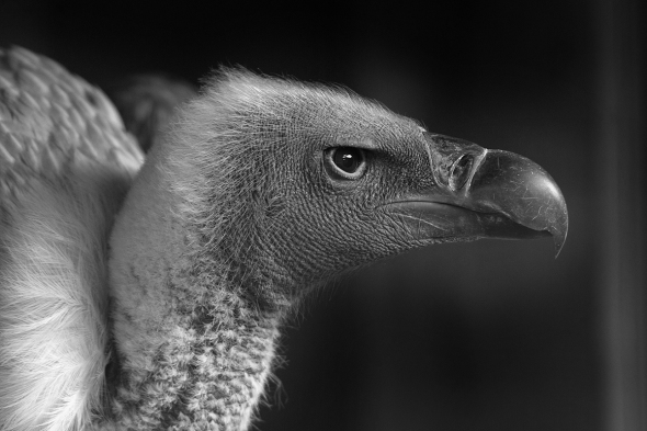 vulture1